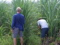 The hunt for sugarcanes